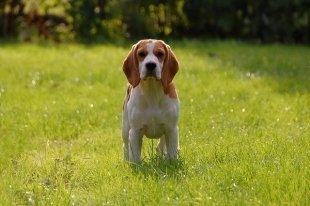 В Красноярске впервые  пройдёт фестиваль охотничьих собак