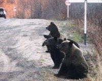 Медведи на дорогах: сургутян просят быть осторожными