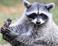 День енота пройдет в иркутском контактном зоопарке