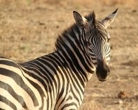 В зоопарке Красноярска на свет появился детёныш зебры