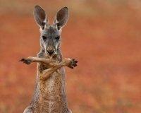 В Тольятти откроется выставка с кенгуру и бегемотами