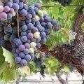 Бутылка грузинского «Виноградного»