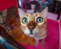 В самарском торговом комплексе откроется выставка кошек
