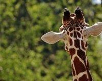 Белгородцы скидываются на жирафа