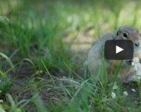 Красноярец снял клип на Татышеве с милыми утками и жующими сусликами