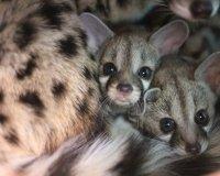 В «Роевом ручье» у семьи кошачьих генет прибавление