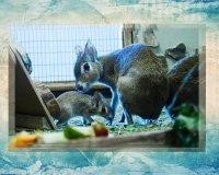 Детёнышу патагонских свинок выбирают имя