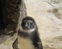 """В зоопарке """"Роев ручей"""" уже можно посмотреть на пингвиненка, родившегося летом"""