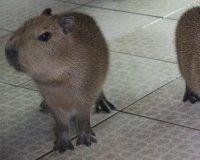 В зоопарке «Роев ручей» пополнение у семейства капибаров