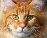 В Тольятти пройдёт Международная выставка кошек