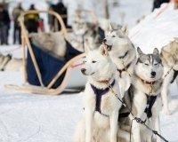 В Екатеринбурге пройдёт рождественская гонка на упряжках собак