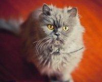 В Уфе пройдет международная выставка кошек