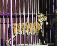 На церемонии открытия ЧМ по дзюдо живого тигра превратили в ростовую куклу