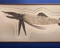 На продажу выставили уникальный скелет рыбы, жившей 85 млн лет назад
