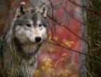 Что ты знаешь о волках?