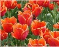 Этой осенью Самару засадят тюльпанами разных сортов