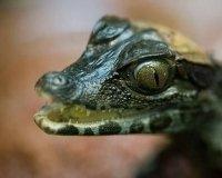 В Самарском зоопарке у пары крокодиловых кайманов появились четыре детеныша.