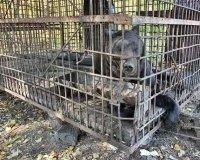 Хозяин медведей с притравочной станции на М-5 в Самарской области  отдает животных в московский приют