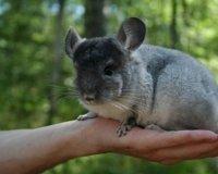 На выставке «Зоомир» можно будет приобрести декоративных кроликов, ежей и шиншилл