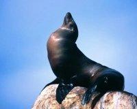Калифорнийские морские львы развлекают столичную публику!