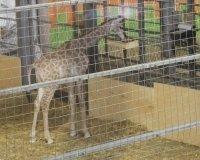 """Маленькую жирафу """"Роева ручья"""" назвали Радугой"""