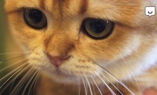 Выбирай-ТВ: кошка чаузи на выставке «Мяу Шоу»