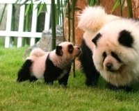Итальянский цирк выдавал чау-чау за панд