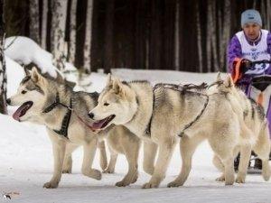 В Слюдоруднике прошел этап Кубка мира по гонкам на собаках
