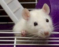 Лучшие крысы страны встретятся в Казани