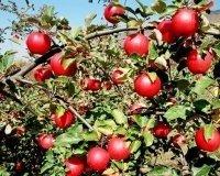 3 июня на Среднем Урале появится огромный яблоневый сад