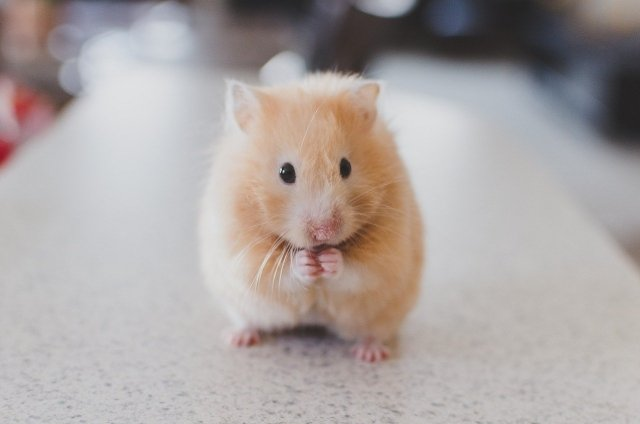 Brown and white teddy bear hamster